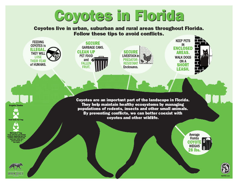 Living With Coyotes In Florida On Top Of The World Info